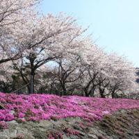sakura-festival2